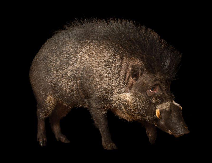 聞所未聞!豬竟然也會使用工具!