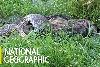 看非洲最大蛇類吞下一頭斑鬣狗