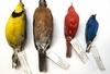 40年測量7萬個標本 科學家發現暖化讓鳥的體形變小了