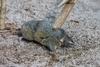 為何英雄鼩鼱有著自然中最不可思議的脊柱?