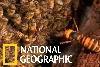 看日本蜜蜂如何集體「熱死」大虎頭蜂!