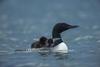 調查離奇死亡:為什麼潛鳥刺穿了白頭海鵰的心臟?