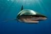 首度拍到的照片顯示:這條鯊魚曾大戰深海巨型烏賊