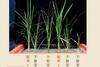 打造超完美稻米,餵飽全世界!余淑美與國際 C4水稻計畫
