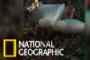 你有看過會拍動「翅膀」海螺嗎?