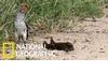 獴寶寶為什麼會倒臥在犀鳥面前?