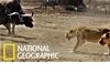 僵持不下!當500頭水牛與獅群狹路相逢時會發生什麼事?