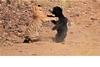 OVER MY DEAD BODY! 懶熊媽媽護幼熊擊退老虎