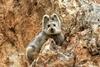 消失逾20年 伊犁鼠兔再次現身天山
