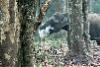 我眼花了嗎?這頭大象為什麼在樹林中吞雲吐霧?!