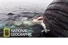 罕見畫面:大白鯊大啖鯨魚屍體