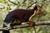 巨大的紫色松鼠真的存在──而且牠們有種古怪行為