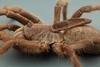 背上長著怪角的新種毛蜘蛛
