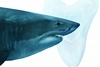 巨齒鯊確定是滅絕了──要怪的可能就是大白鯊