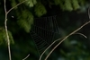 用蛛網把自己「彈」出去抓獵物的蜘蛛,而且加速度超過火箭20倍!