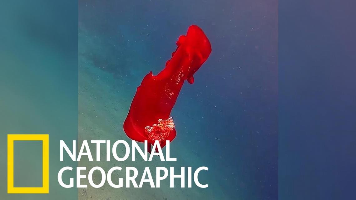 這隻在海中舞動的「紅通通」生物究竟是什麼?