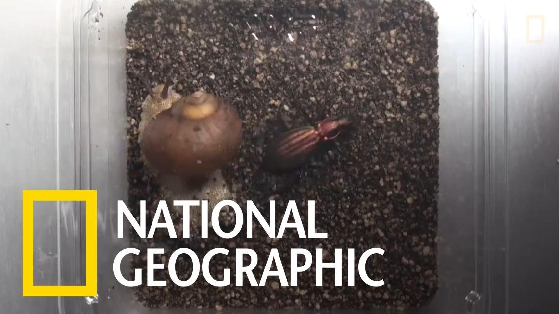 遇見天敵時,這些蝸牛會奮力反擊!