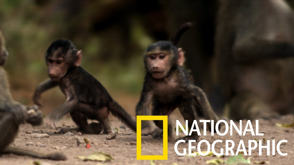 深入東非狒狒大家族