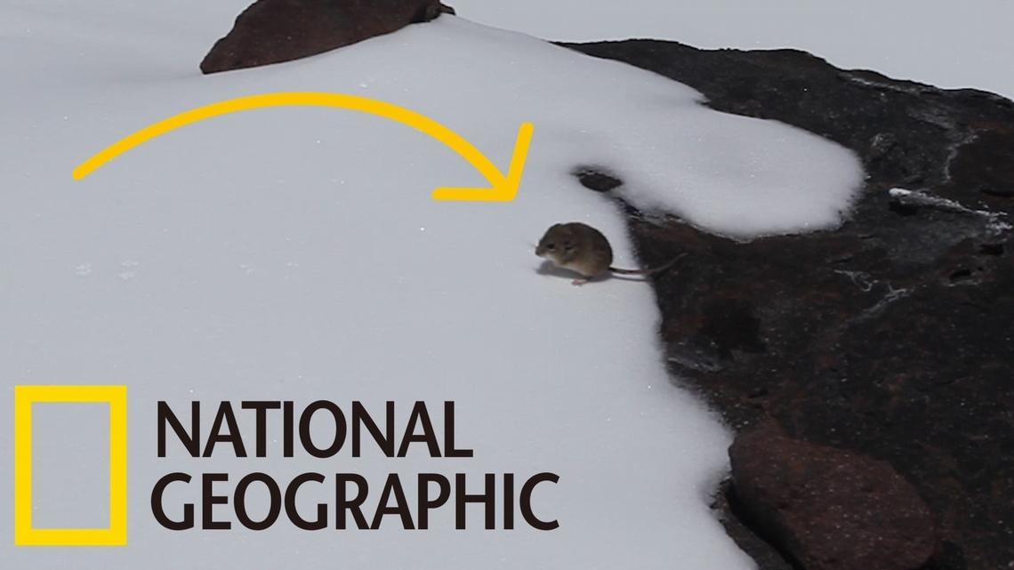 世界上海拔分布最高的哺乳類是……老鼠?