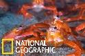 你看過紅通通的「遠洋紅蟹」大軍嗎?