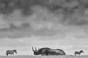 犀牛與斑馬