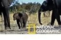 心疼!南非斷鼻小象的存活機率可能不高……