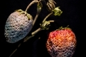 近百年前的腐爛水果雕塑,預言了現在的植物危機