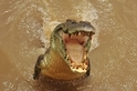 躍出水面的鱷魚