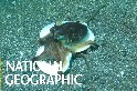 條紋章魚的「移動城堡」