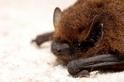 冠狀病毒是蝙蝠的錯? 防檢局長:近五年監測顯示,臺灣原生蝙蝠不具感染人能力