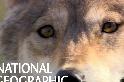 蒙古狼的生存隱憂