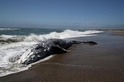 太陽風暴可能是造成灰鯨大量擱淺的原因之一