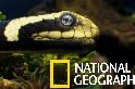 海陸兩棲的黃唇青斑海蛇