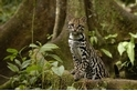 喵喵集:豹貓、虎貓、山貓、藪貓~族繁不及備載