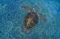 請保持一隻海龜的社交距離──海龜之間也有傳染病?