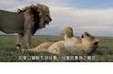 每日酷知識:獅子鬃毛的致命吸引力