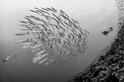 金梭魚群大爆炸