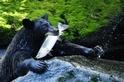 黑熊與鮭魚