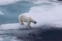 打呵欠的北極熊