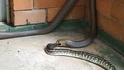 罕見畫面:蛇吞蛇