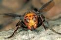 「殺人胡蜂」入侵美國,本文告訴你不可不知的訊息