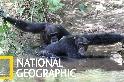 為了避開酷熱,這些「夜貓族」黑猩猩特別愛洗澡!