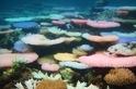 白化新研究:珊瑚垂死前發出的螢光色 是對抗死亡的生存技能