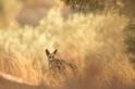 夕陽下的狐狸