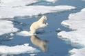 海冰上的北極熊