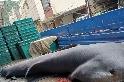 巨口鯊該不該禁捕? 動社指向花蓮外海特定漁船 海保署坦言:禁捕有困境