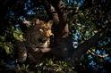 嚇得竄上樹的豹