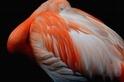 美麗的紅鶴