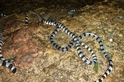 【老杜聊海蛇】日本的海蛇研究驚魂記