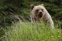班夫的灰熊
